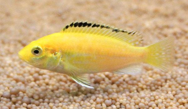 albino labidochromis caeruleus eastcoastcichlids