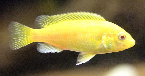 The gallery for --> Labidochromis Caeruleus Albino